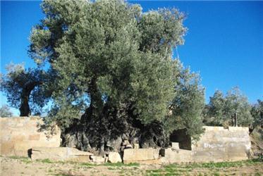 mención al mejor olivo monumental españa 2017
