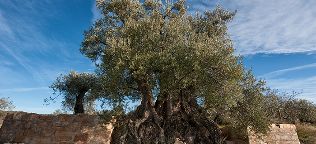 Mención al mejor olivo de España 2017, en Colungo